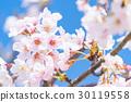樱花·盛开 30119558