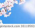 ดอกซากุระบาน,ซากุระบาน,ดอกไม้ 30119563