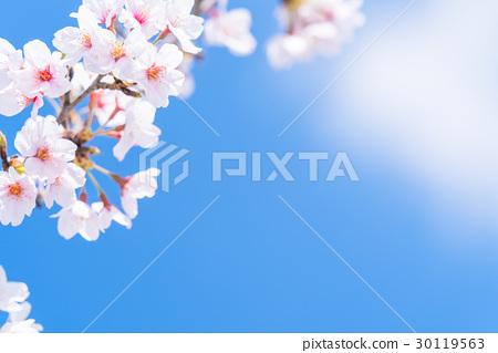 櫻花·盛開 30119563