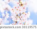 樱花·盛开 30119575