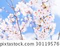 樱花·盛开 30119576