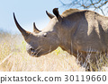 Isolated rhinoceros close up, South Africa 30119660