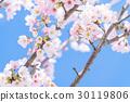 樱花·盛开 30119806