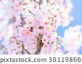 樱花·盛开 30119866