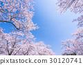 櫻花·盛開 30120741