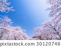 ซากุระ·เต็มบาน 30120746