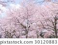 ซากุระ·เต็มบาน 30120883