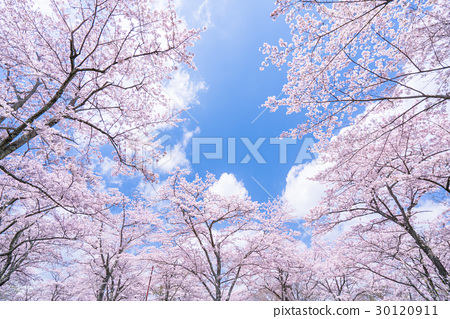 樱花·盛开 30120911