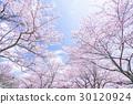 櫻花·盛開 30120924