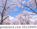 櫻花·盛開 30120944