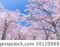 櫻花·盛開 30120968
