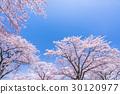 櫻花·盛開 30120977