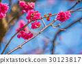 樱花 樱桃树 春天 30123817