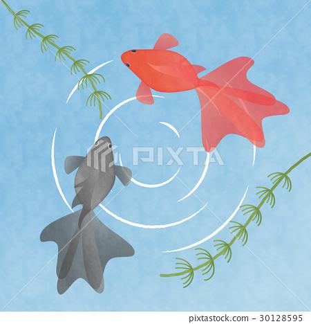 兩條金魚在水中游泳插圖素材夏季/季節材料/日本材料 30128595