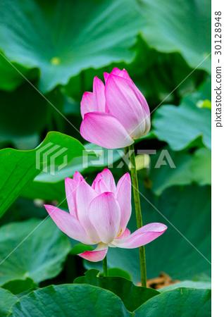 台灣台南白河蓮花Asia Taiwan Lotus 30128948