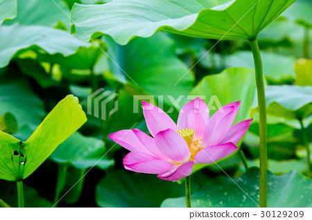 台灣台南白河蓮花Asia Taiwan Lotus 30129209