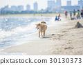모래 사장을 산책하는 시바 30130373