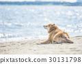 หมาชิบะ,สุนัข,สุนัช 30131798