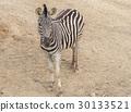 Zebra Chapman, Equus Burchelli Chapmani 30133521
