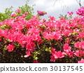 ดอกไม้,ฤดูใบไม้ผลิ,ท้องฟ้าเป็นสีฟ้า 30137545