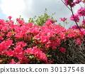 ดอกไม้,ฤดูใบไม้ผลิ,ท้องฟ้าเป็นสีฟ้า 30137548