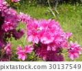 azalea, azaleas, bloom 30137549
