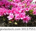 azalea, azaleas, bloom 30137551