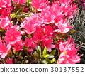 azalea, azaleas, bloom 30137552