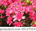 azalea, azaleas, bloom 30137554