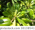 rhaphiolepis umbellata, young leafe, yellow-green 30138541
