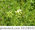 cerastium glomeratum, bloom, blossom 30138543