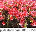 杜鵑花 花朵 花 30139159