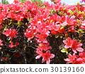杜鵑花 花朵 花 30139160