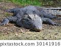 crocodile, reptile, animal 30141916