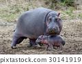 Hippo (Hippopotamus amphibius) 30141919