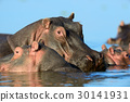 Hippo on lake in Africa 30141931
