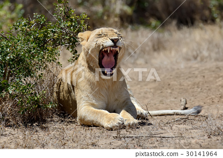 African lion in the Park South Africa 30141964