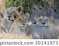 動物 獅子 非洲 30141973