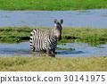 Zebra on grassland in Africa 30141975