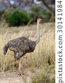 African ostrich (Struthio camelus) 30141984