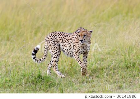 Wild african cheetah 30141986