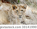 animal, lion, wildlife 30141990