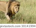 動物 獅子 貓科 30141994