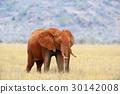 Elephant in National park of Kenya 30142008