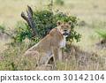 Lion in National park of Kenya 30142104