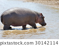 Hippo (Hippopotamus amphibius) in the water 30142114
