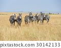 zebra, animal, wildlife 30142133