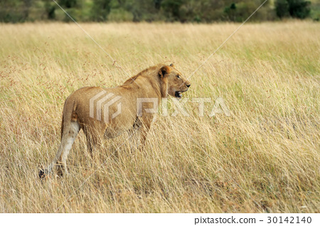 African lion in the Park South Africa 30142140