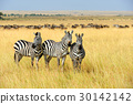 zebra, animal, wildlife 30142142