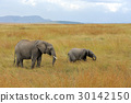 elephant, animal, wildlife 30142150